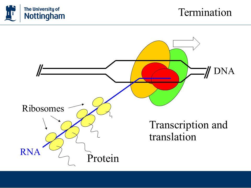 Protein Ribosomes DNA RNA Transcription and translation Termination