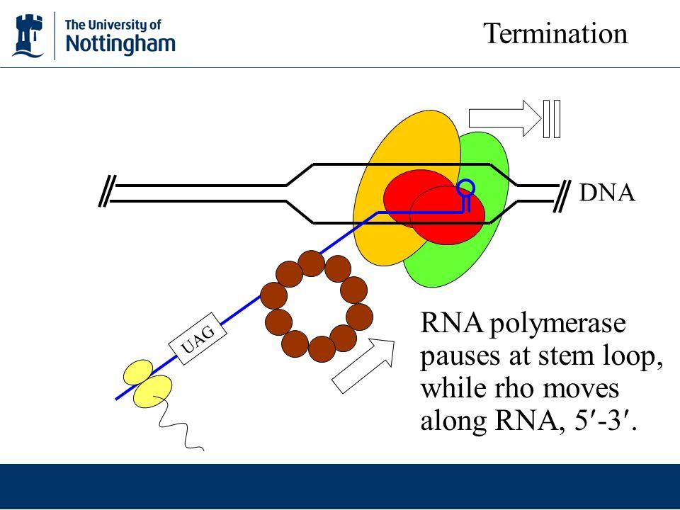 DNA UAG Termination RNA polymerase pauses at stem loop, while rho moves along RNA, 5 -3.