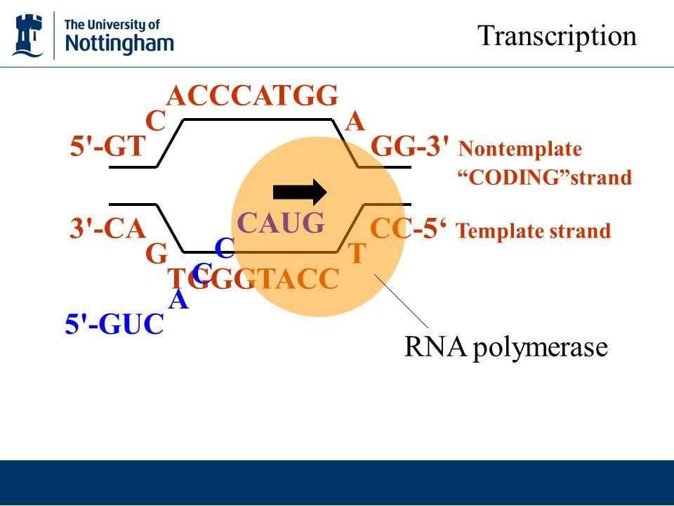 ACCCATGG C A 5'-GT GG-3' Nontemplate CODINGstrand 3'-CA CC-5 Template strand G T TGGGTACC CAUG C A 5'-GUC RNA polymerase Transcription