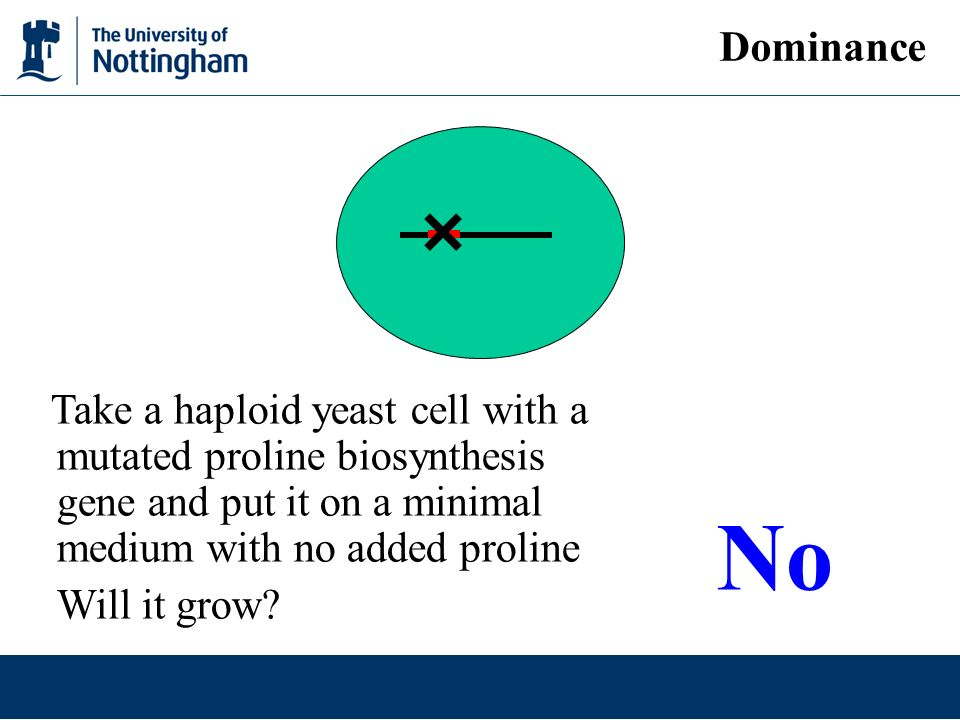 Dominance Take a haploid yeast cell with a mutated proline biosynthesis gene and put it on a minimal medium with no added proline Will it grow? No