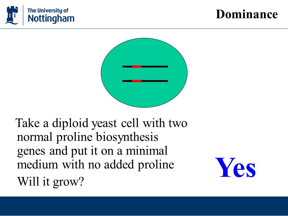 Dominance Take a diploid yeast cell with two normal proline biosynthesis genes and put it on a minimal medium with no added proline Will it grow.