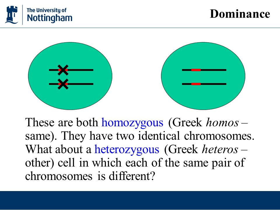 These are both homozygous (Greek homos – same). They have two identical chromosomes. What about a heterozygous (Greek heteros – other) cell in which e