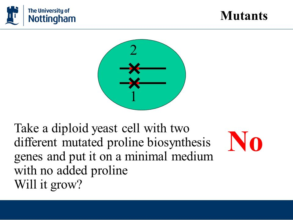1 2 Take a diploid yeast cell with two different mutated proline biosynthesis genes and put it on a minimal medium with no added proline Will it grow.