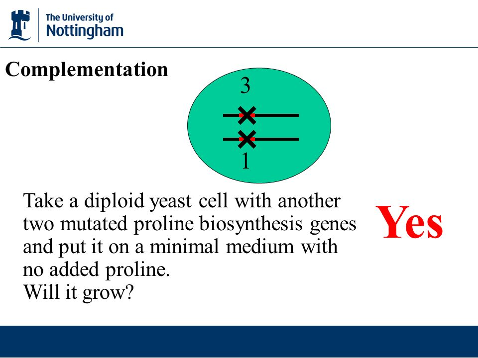 1 3 Take a diploid yeast cell with another two mutated proline biosynthesis genes and put it on a minimal medium with no added proline.