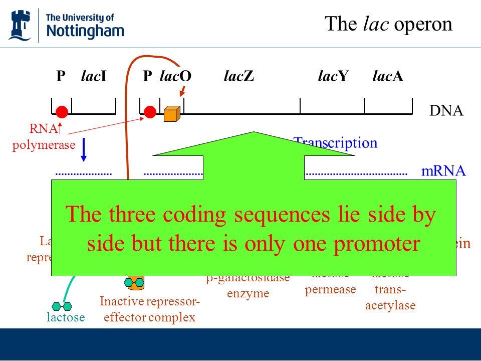 DNA LacI repressor RNA polymerase Active repressor binds to both operators X X No active repressor to bind to operator P lacI P lacO lacZ lacY lacA The lac operon lacI mutations are recessive