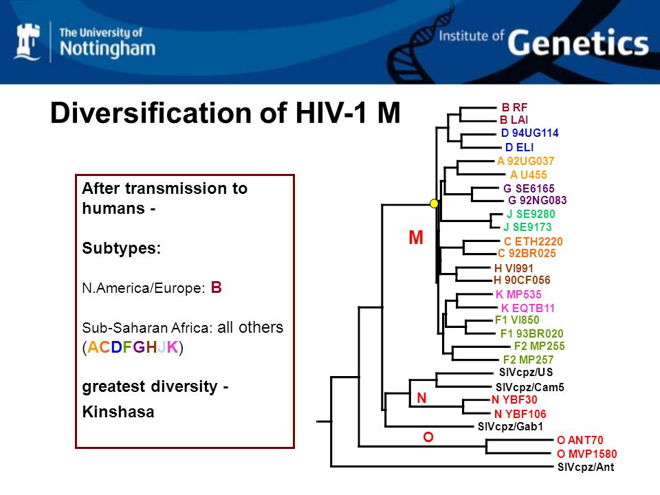 Diversification of HIV-1 M B RF A U455 C ETH2220 H VI991 K EQTB11 SIVcpz/Ant SIVcpz/Gab1 SIVcpz/Cam5 B LAI D 94UG114 D ELI A 92UG037 G SE6165 G 92NG083 J SE9280 J SE9173 C 92BR025 H 90CF056 F1 VI850 F1 93BR020 F2 MP255 F2 MP257 O MVP1580 N YBF30 N YBF106 SIVcpz/US O ANT70 K MP535 M N O After transmission to humans - Subtypes: N.America/Europe: B Sub-Saharan Africa: all others (ACDFGHJK) greatest diversity - Kinshasa