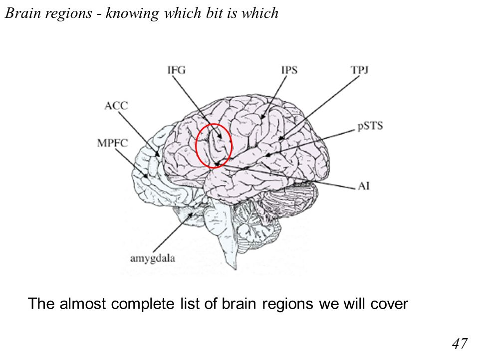 Brain regions - knowing which bit is which The almost complete list of brain regions we will cover 47