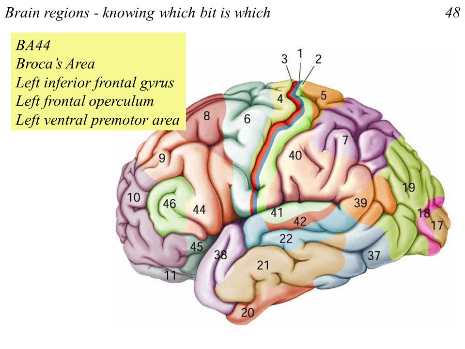 Brain regions - knowing which bit is which48 BA44 Brocas Area Left inferior frontal gyrus Left frontal operculum Left ventral premotor area