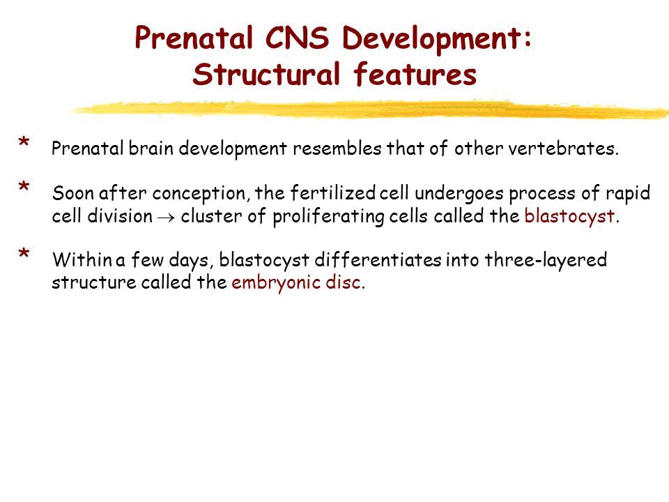 Prenatal CNS Development: Structural features * Prenatal brain development resembles that of other vertebrates. * Soon after conception, the fertilize