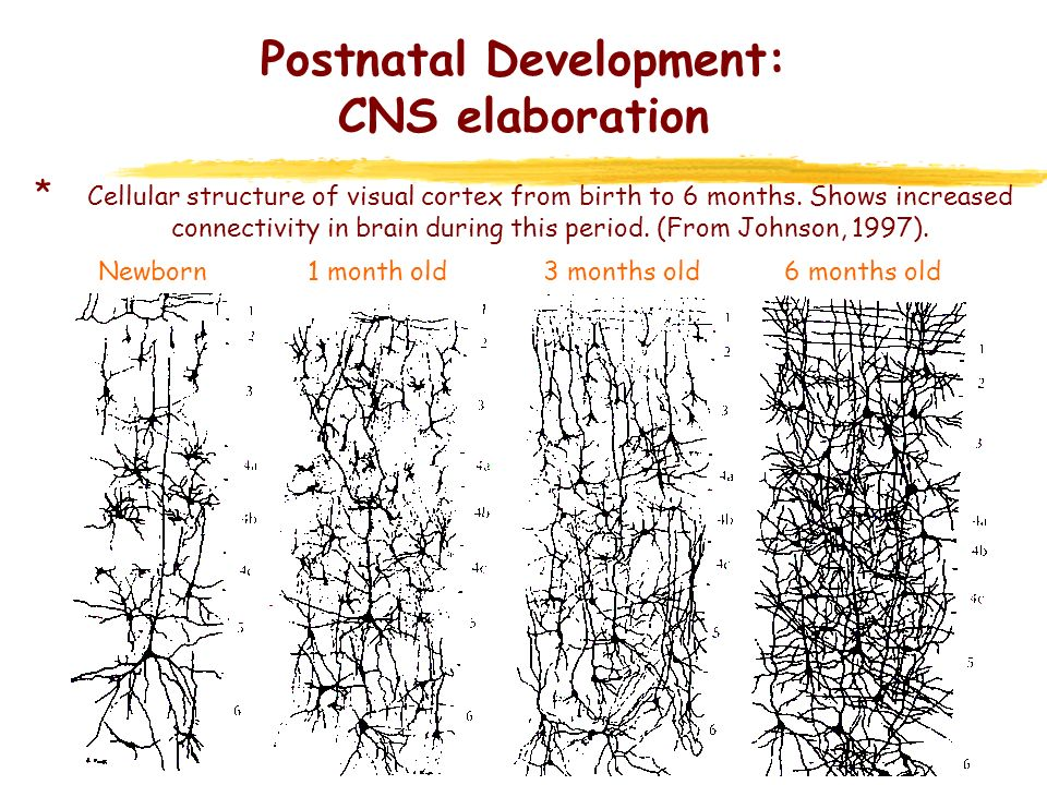 Postnatal Development: CNS elaboration * Synaptogensis: – Synaptic connections increase from birth, with bursts of rapid growth at various stages within different cerebral regions - V1: peak in density between 4-12 months (150% of adult) - A1 (Heschls gyrus): similar - Prefrontal cortex: density increase is much slower, peak only after first year - Begins in 2nd trimester of gestation (Molliver et al., 1973) – Most development is postnatal – Regressive process (initial over-production then reduction) – Synapses initially unspecified in function (Huttenlocher, 1994) – As neural circuits emerge synapses become utilised in these functional systems – Unspecified synapses regress, starting after 1 year