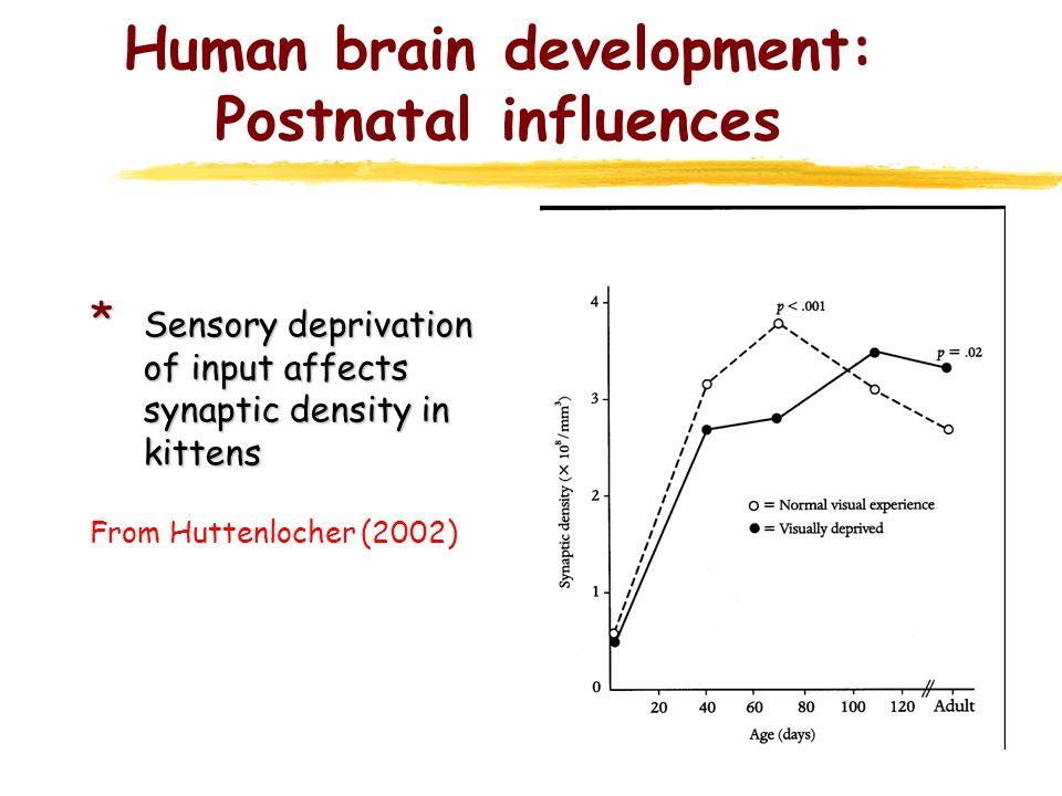 Human brain development: Postnatal influences * Sensory deprivation of input affects synaptic density in kittens From Huttenlocher (2002)