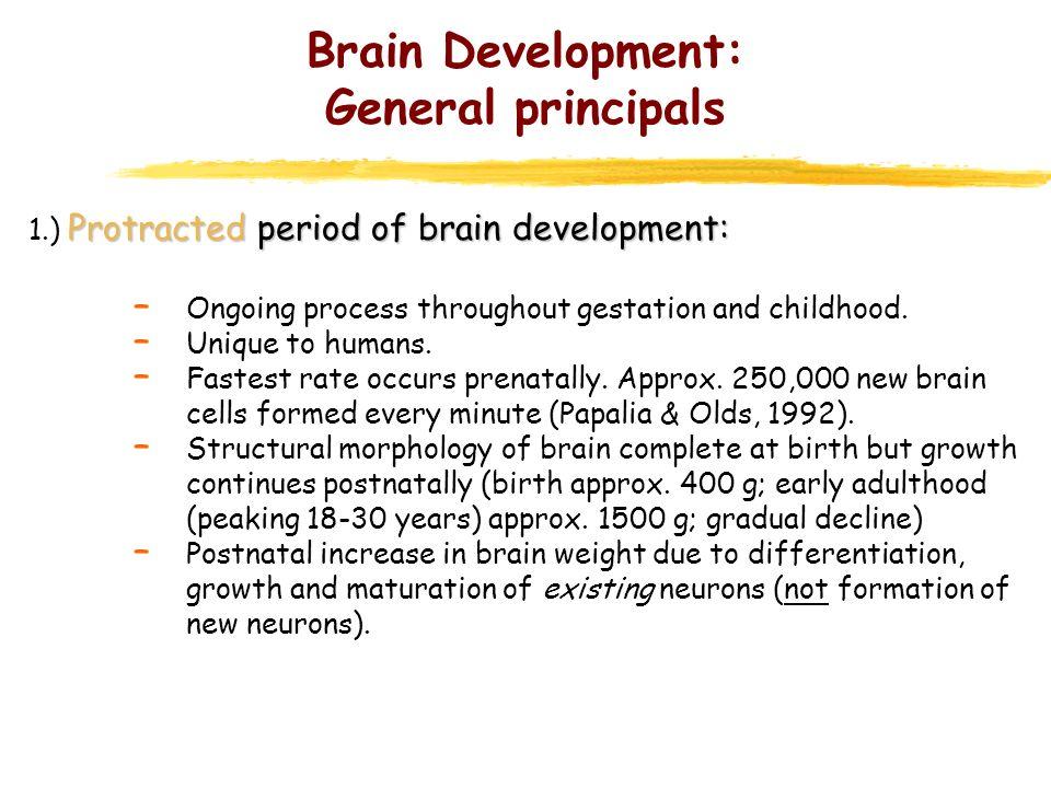 Brain Development: General principals * Stages of human brain development throughout gestation.