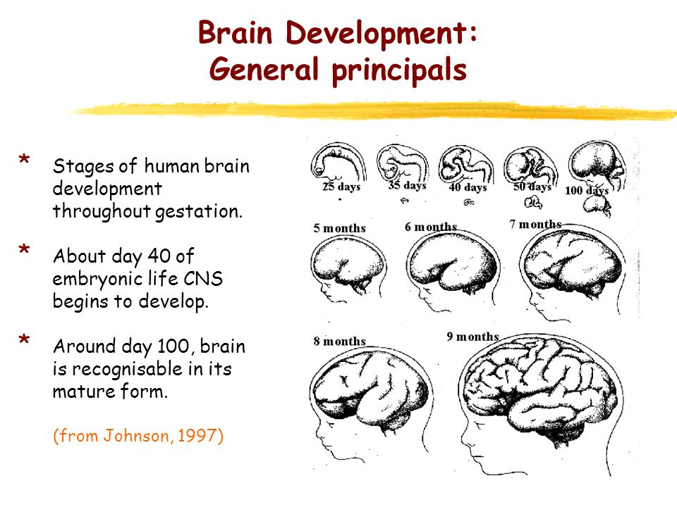 Brain Development: General principals * Stages of human brain development throughout gestation. * About day 40 of embryonic life CNS begins to develop
