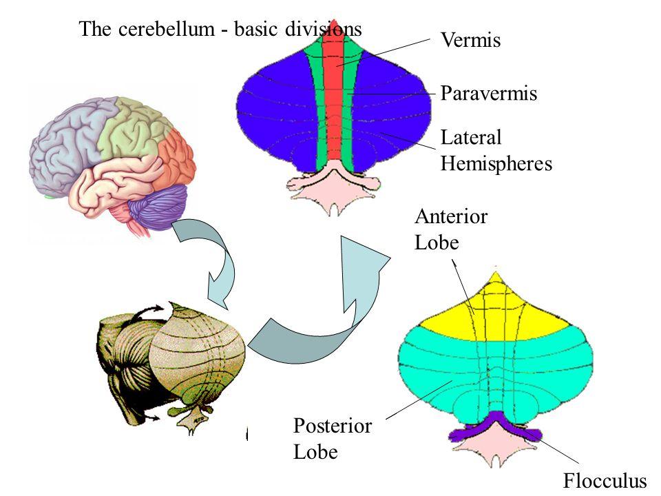Vermis Paravermis Lateral Hemispheres Anterior Lobe Posterior Lobe The cerebellum - basic divisions Flocculus