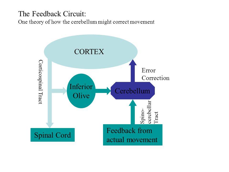CORTEX Inferior Olive Spinal Cord Cerebellum Corticospinal Tract Error Correction Feedback from actual movement Spino- cerebellar Tract The Feedback C
