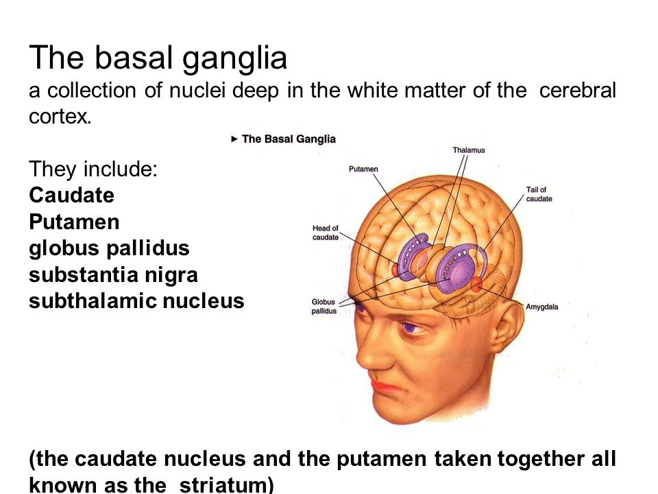 The basal ganglia a collection of nuclei deep in the white matter of the cerebral cortex. They include: Caudate Putamen globus pallidus substantia nig