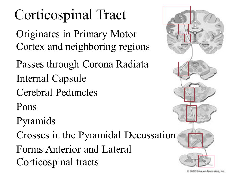 These fibres funnel through the internal capsule which lies between the thalamus and basal ganglia on their way to the brainstem.