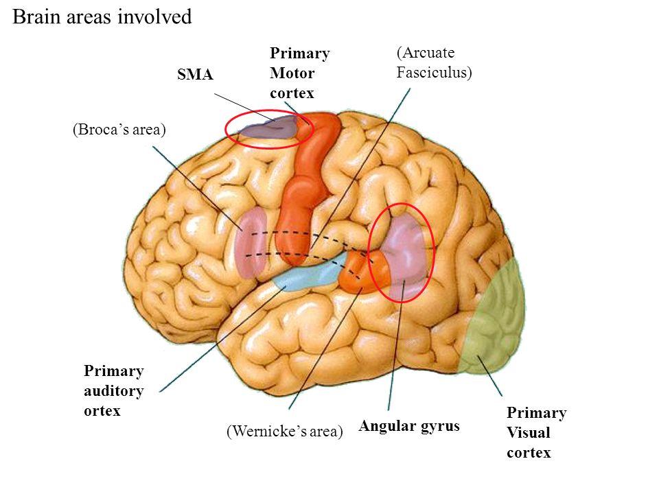 SMA Primary Motor cortex Primary Visual cortex (Brocas area) Primary auditory ortex (Wernickes area) Angular gyrus (Arcuate Fasciculus) Brain areas in