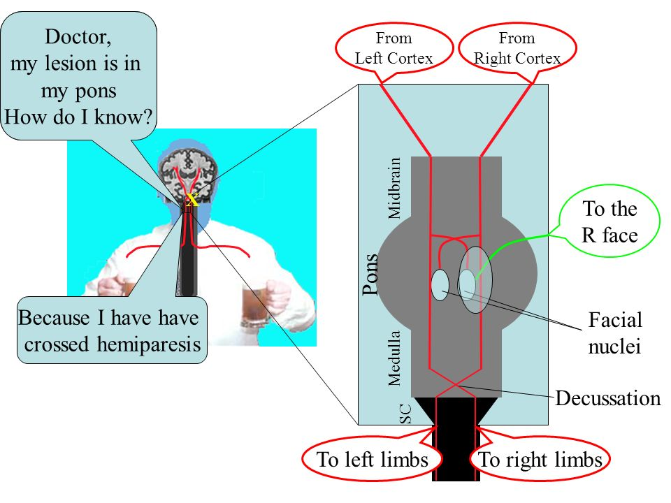 What is the function of the Basal Ganglia.Slow postural adjustments.