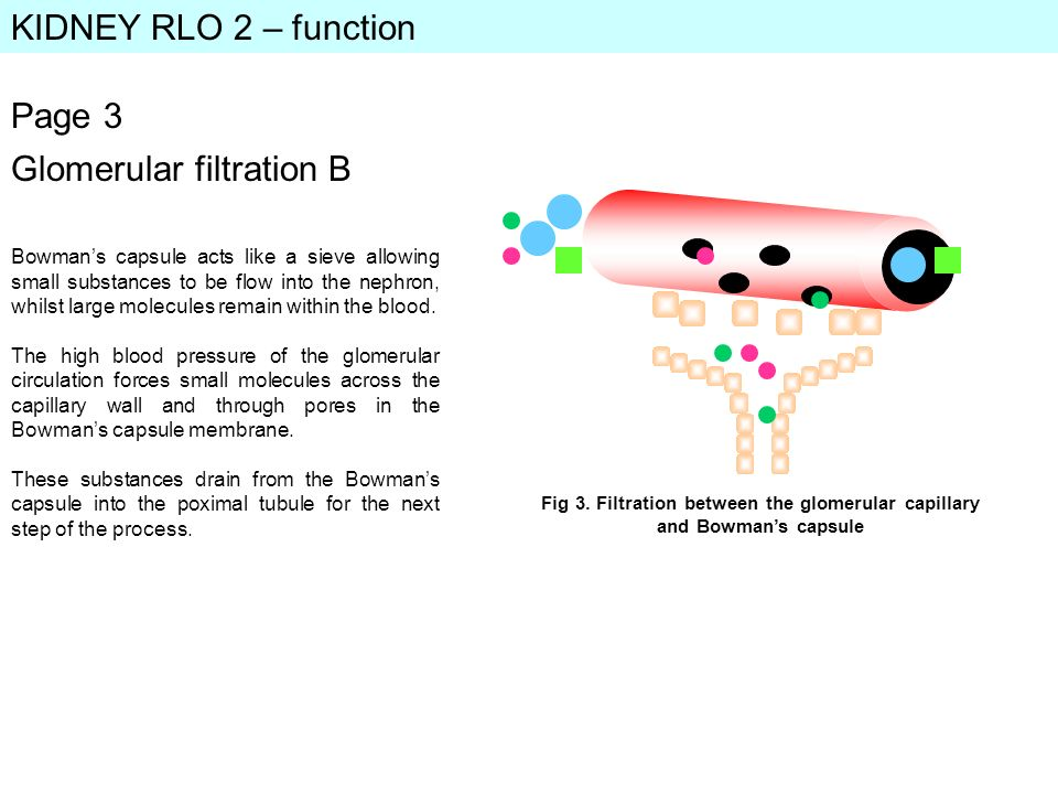 KIDNEY RLO 2 – function Page 3 Bowmans capsule acts like a sieve allowing small substances to be flow into the nephron, whilst large molecules remain