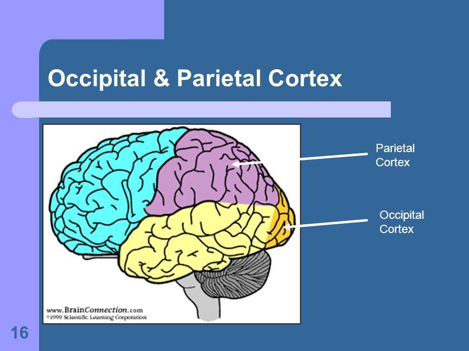 16 Occipital & Parietal Cortex Parietal Cortex Occipital Cortex