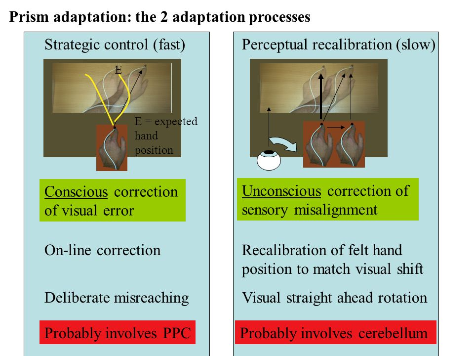 Prism adaptation: the 2 adaptation processes Perceptual recalibration (slow) Unconscious correction of sensory misalignment Probably involves cerebellum Visual straight ahead rotation Strategic control (fast) Probably involves PPC Conscious correction of visual error E E = expected hand position On-line correction Deliberate misreaching Recalibration of felt hand position to match visual shift