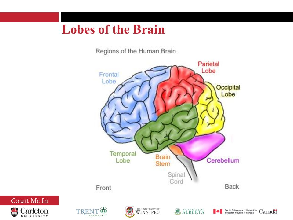 Count Me In Lobes of the Brain