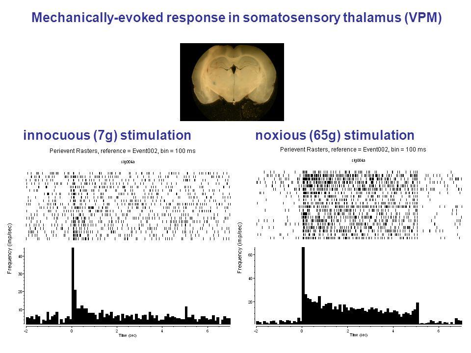 innocuous (7g) stimulation noxious (65g) stimulation Mechanically-evoked response in somatosensory thalamus (VPM)