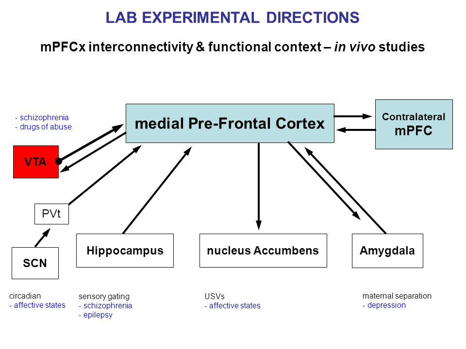 LAB EXPERIMENTAL DIRECTIONS mPFCx interconnectivity & functional context – in vivo studies maternal separation - depression circadian - affective stat