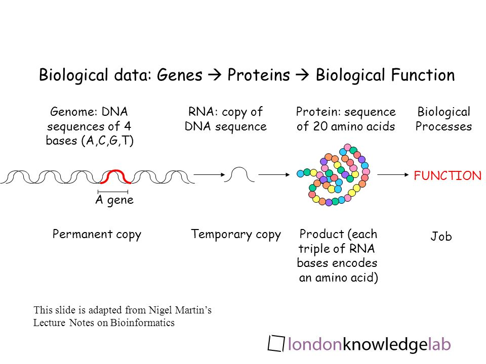 Genome: DNA sequences of 4 bases (A,C,G,T) RNA: copy of DNA sequence Protein: sequence of 20 amino acids A gene Biological data: Genes Proteins Biological Function Permanent copyTemporary copyProduct (each triple of RNA bases encodes an amino acid) FUNCTION Job Biological Processes This slide is adapted from Nigel Martins Lecture Notes on Bioinformatics