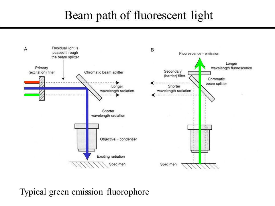 Beam path of fluorescent light Typical green emission fluorophore