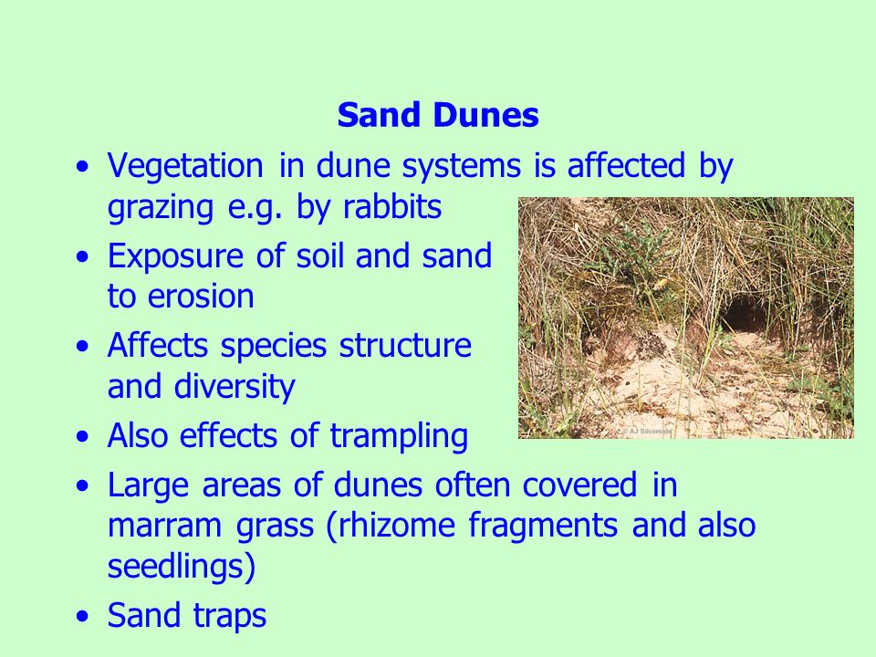 Sand Dunes Vegetation in dune systems is affected by grazing e.g. by rabbits Exposure of soil and sand to erosion Affects species structure and divers