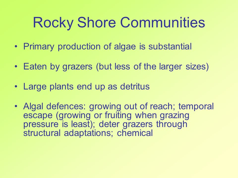 Rocky Shore Communities Primary production of algae is substantial Eaten by grazers (but less of the larger sizes) Large plants end up as detritus Alg