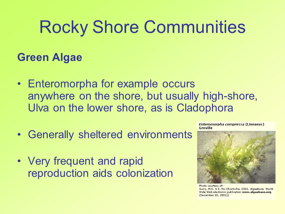Rocky Shore Communities Green Algae Enteromorpha for example occurs anywhere on the shore, but usually high-shore, Ulva on the lower shore, as is Clad