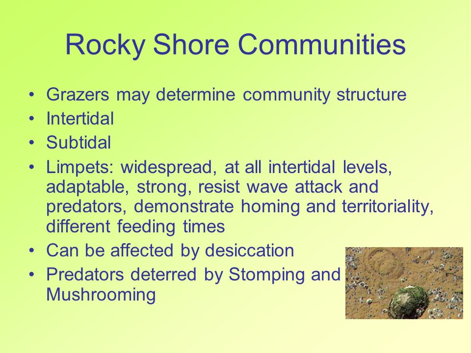 Rocky Shore Communities Grazers may determine community structure Intertidal Subtidal Limpets: widespread, at all intertidal levels, adaptable, strong