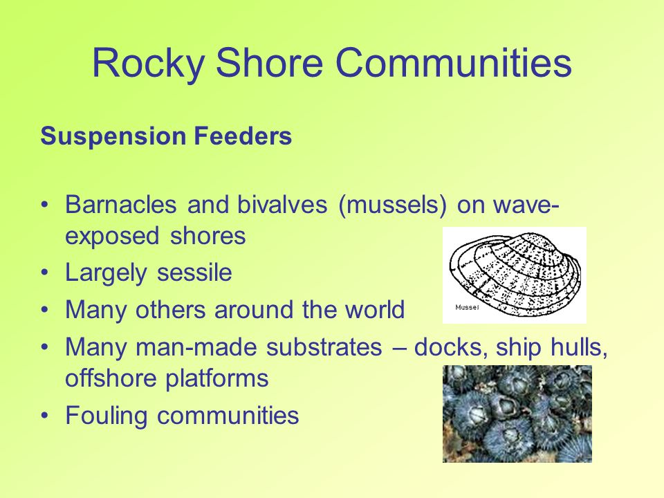 Rocky Shore Communities Suspension Feeders Barnacles and bivalves (mussels) on wave- exposed shores Largely sessile Many others around the world Many