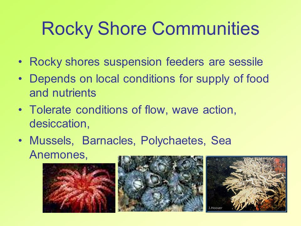 Rocky Shore Communities Rocky shores suspension feeders are sessile Depends on local conditions for supply of food and nutrients Tolerate conditions o