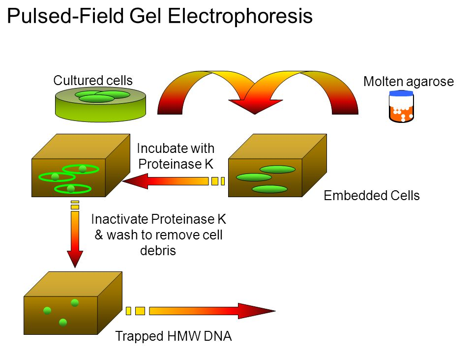 Molten agarose Cultured cells Incubate with Proteinase K Trapped HMW DNA Embedded Cells Inactivate Proteinase K & wash to remove cell debris Pulsed-Field Gel Electrophoresis