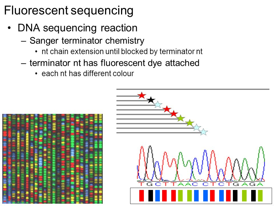 Fluorescent sequencing DNA sequencing reaction –Sanger terminator chemistry nt chain extension until blocked by terminator nt –terminator nt has fluorescent dye attached each nt has different colour
