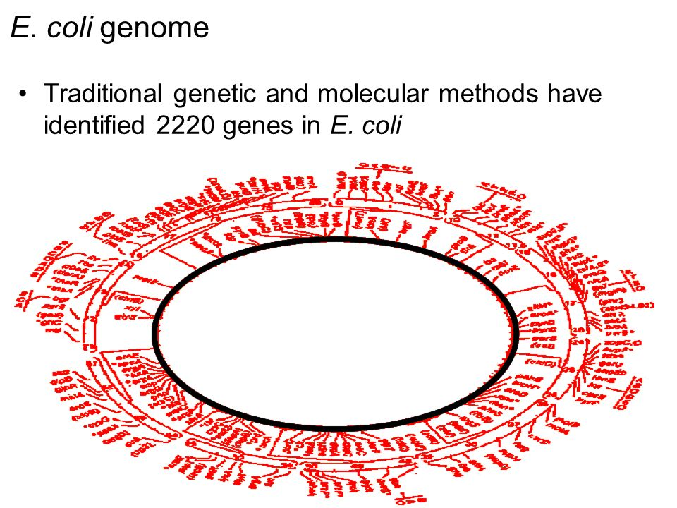 E. coli genome Traditional genetic and molecular methods have identified 2220 genes in E. coli