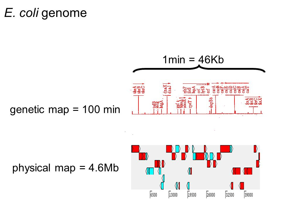 E. coli genome genetic map = 100 min physical map = 4.6Mb 1min = 46Kb
