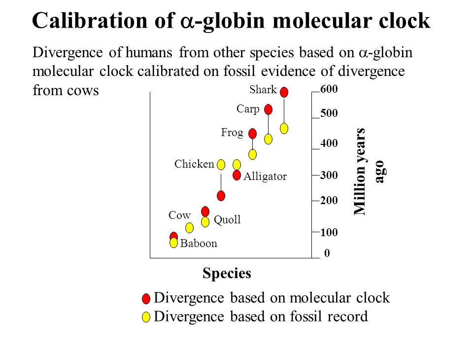 600 500 400 300 200 100 0 Million years ago Species Divergence based on molecular clock Divergence based on fossil record Divergence of humans from other species based on -globin molecular clock calibrated on fossil evidence of divergence from cows Calibration of -globin molecular clock Shark Carp Frog Alligator Chicken Quoll Cow Baboon