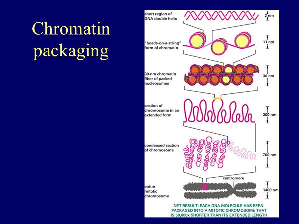 Chromatin packaging