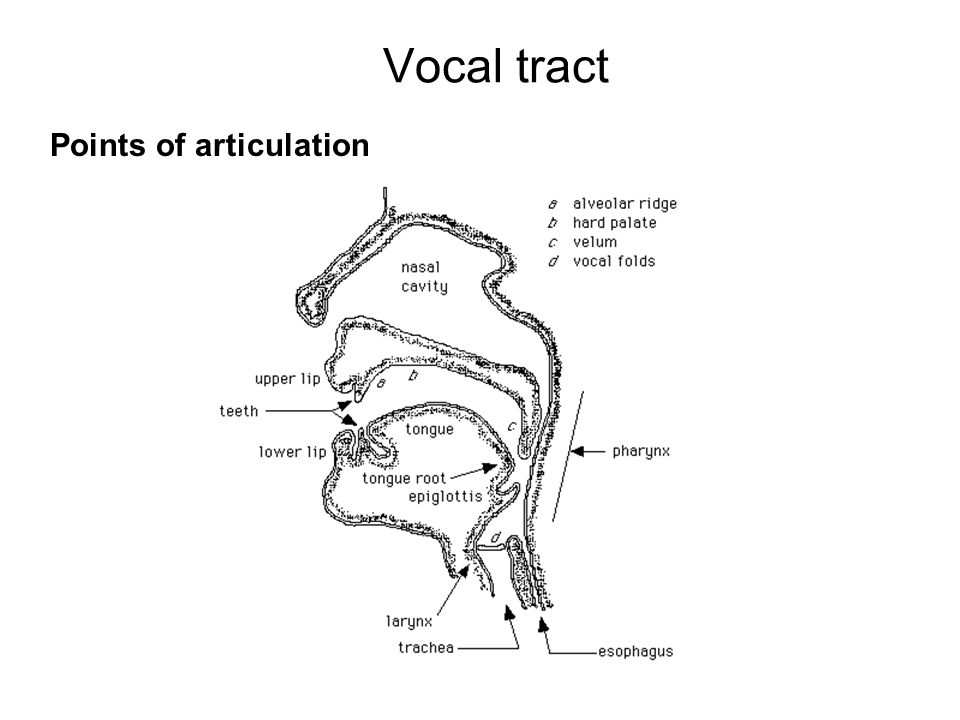Vocal tract Points of articulation