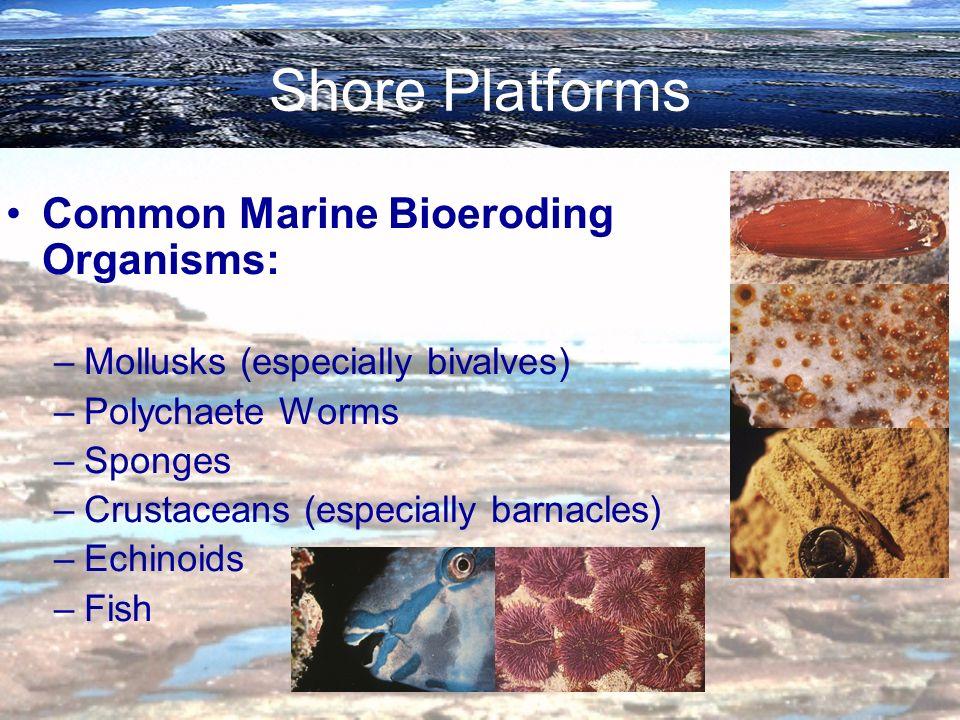 Shore Platforms Common Marine Bioeroding Organisms: –Mollusks (especially bivalves) –Polychaete Worms –Sponges –Crustaceans (especially barnacles) –Ec