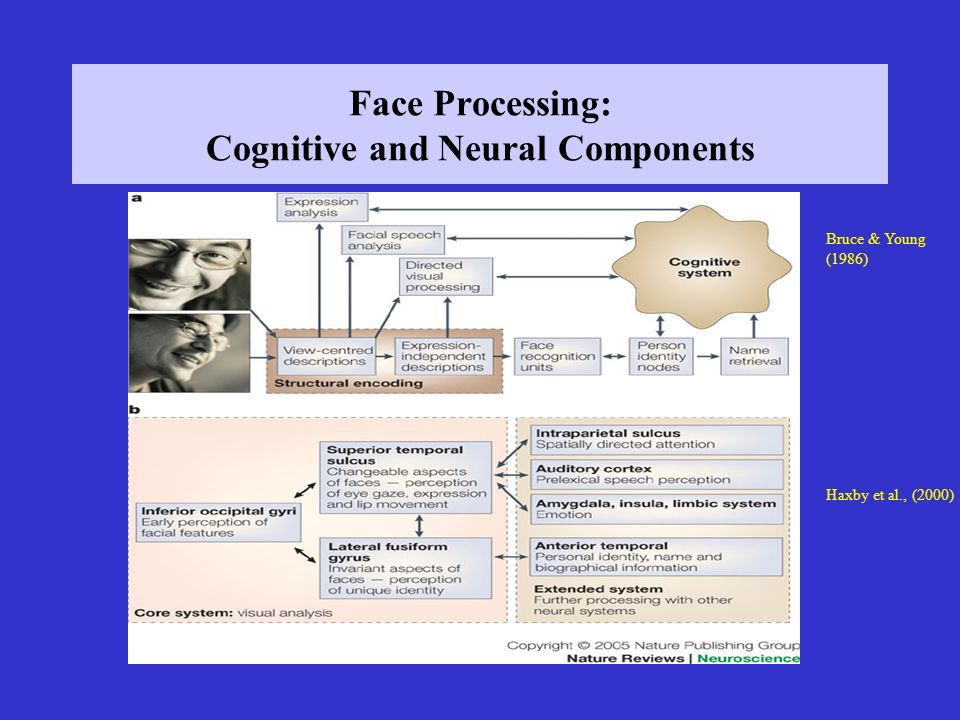 Face Processing: Cognitive and Neural Components Bruce & Young (1986) Haxby et al., (2000)