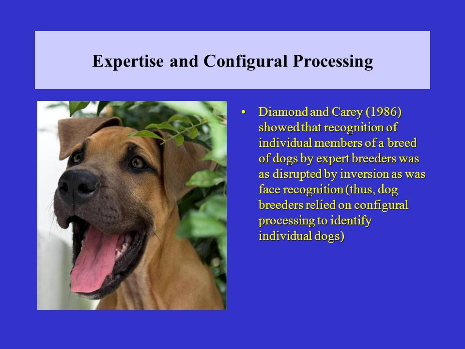 Expertise and Configural Processing Diamond and Carey (1986) showed that recognition of individual members of a breed of dogs by expert breeders was as disrupted by inversion as was face recognition (thus, dog breeders relied on configural processing to identify individual dogs)Diamond and Carey (1986) showed that recognition of individual members of a breed of dogs by expert breeders was as disrupted by inversion as was face recognition (thus, dog breeders relied on configural processing to identify individual dogs)