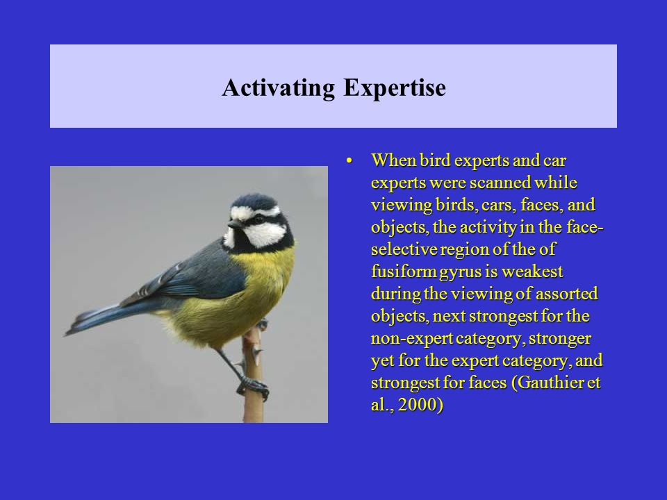 Activating Expertise When bird experts and car experts were scanned while viewing birds, cars, faces, and objects, the activity in the face- selective region of the of fusiform gyrus is weakest during the viewing of assorted objects, next strongest for the non-expert category, stronger yet for the expert category, and strongest for faces (Gauthier et al., 2000)When bird experts and car experts were scanned while viewing birds, cars, faces, and objects, the activity in the face- selective region of the of fusiform gyrus is weakest during the viewing of assorted objects, next strongest for the non-expert category, stronger yet for the expert category, and strongest for faces (Gauthier et al., 2000)