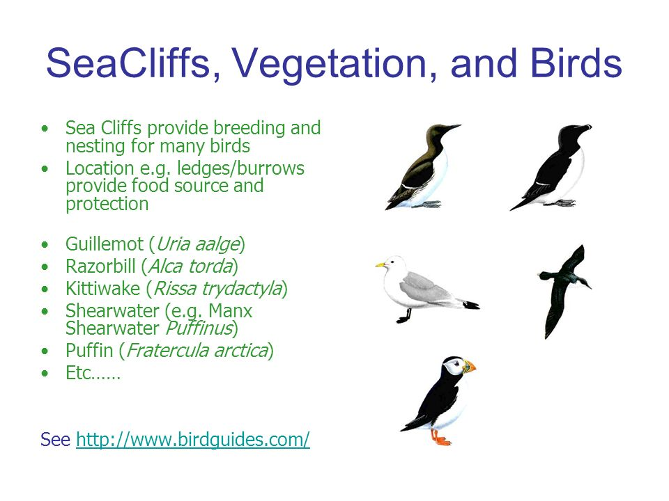 SeaCliffs, Vegetation, and Birds Sea Cliffs provide breeding and nesting for many birds Location e.g.