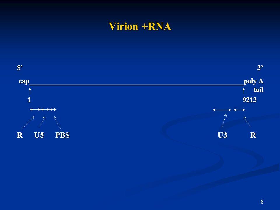 6 Virion +RNA 5 3 cap ______________________________________________ poly A tail 1 9213 1 9213 R U5 PBS U3 R